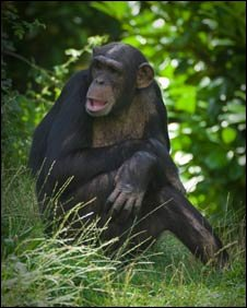 One of the chimps at Chester Zoo (Pic: Chester Zoo)