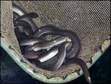 Generic picture of eels in a net