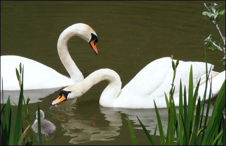 These swans were captured by Michael Hughes in Caldicot, Monmouthshire.