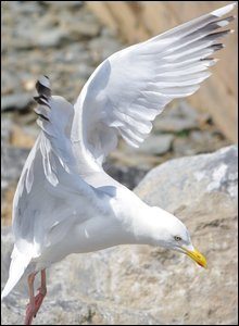A common sight at the seaside, this herring gull was captured by Paul Thomas as it came into land at Aberaeron, Ceredigion.