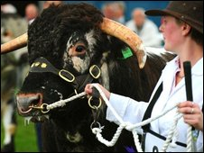 Longhorn cattle at the Royal Show