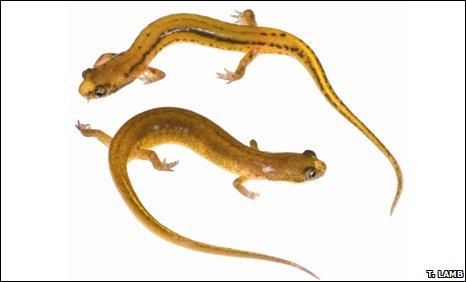 Patch-nosed salamander (Urspelerpes brucei)