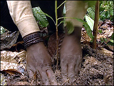A sapling being planted in the ground (Image: BBC)