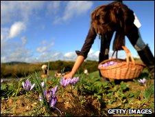 Collecting crocuses to make saffron