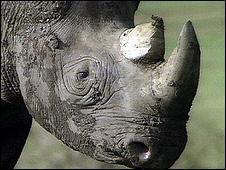A black rhino (Image: BBC)