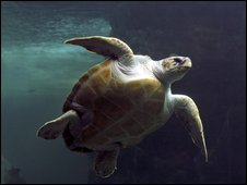 Loggerhead turtle