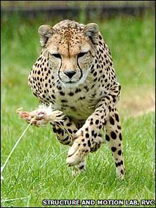 Cheetah chasing chicken (Structure and Motion Lab, Royal Veterinary College)