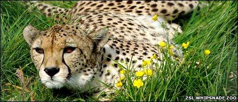 North African cheetah (ZSL Whipsnade)