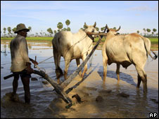 A Cambodian farmer ploughs his rice farm by using oxen