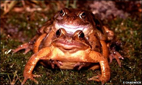 bbc earth news amphibians mate under a full moon