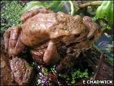 Common toads (bufo bufo) mating