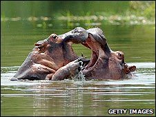 Two hippos on the former estate of drug baron Pablo Escobar, Colombia (21 June 2009)