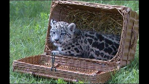 Altai the snow leopard
