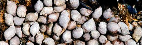 Dog whelks (SPL)