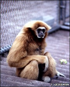 Female white-handed gibbon (Hylobates lar)