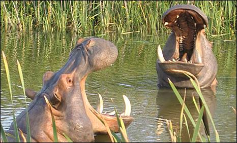 Bronze hippos