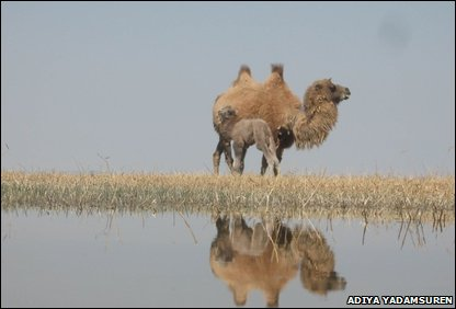 Wild Bactrian camels (Camelus bactrianus)