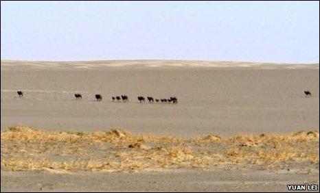 Wild Bactrian camels (Camelus bactrianus)