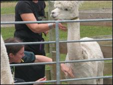 Blood is taken from an alpaca