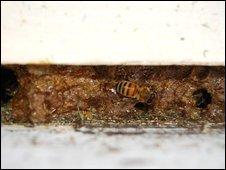 Honeybee hive with propolis
