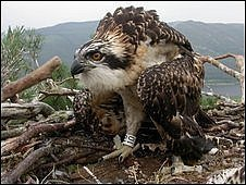 Osprey chick  number 10