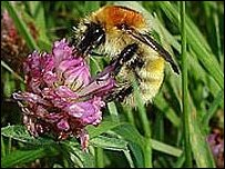 Brown banded carder bumblebee