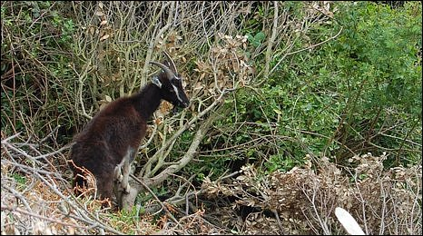 One of five goats patrolling Boscombe's cliffs