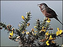 Dartford warbler on flowering gorse bush