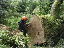 Fallen tree at Picton Castle, Pembrokeshire
