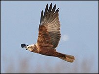 Marsh harrier in flight at Radipole