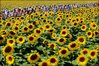 The tour winds its way through acres of sunflowers