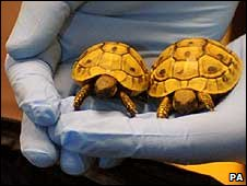 Two tortoises in a gloved hand