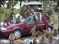 The safari park has re-created the damage the baboons can make to warn visitors