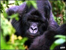 Silverback gorilla in Rwanda, file image