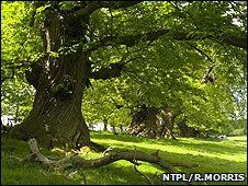 Spanish sweet chestnuts, Croft Castle (Image: NTPL/Robert Morris)