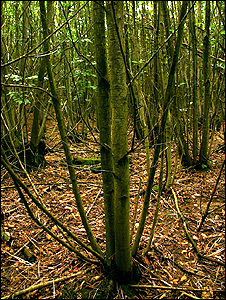 Tree stems growing from a coppice stump (Image: BBC)