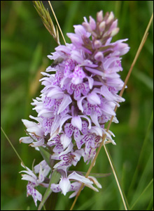 Ray McGowan's wife Avril discovered this orchid on Halkyn mountain in Flintshire while walking their dogs.