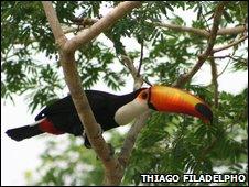 Toucan (Thiago Filadelpho)