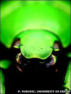 Jeweled beetle (P. Vukusic)