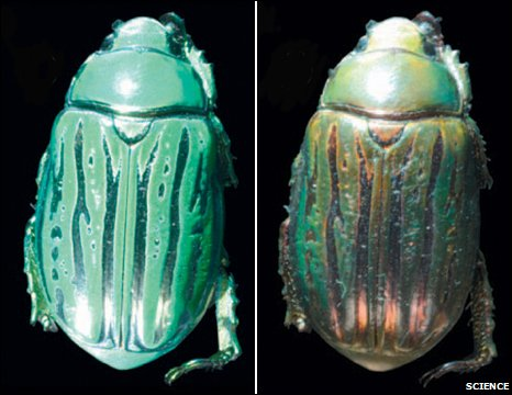 Green jeweled beetle
