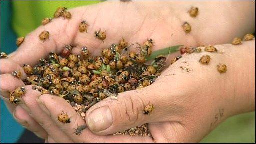 Hands holding ladybirds