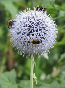 Bees at Dyffryn Gardens (Eileen Ridgeway)