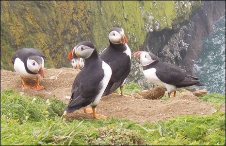 "Jane Buckels took this picture of puffins ""having a meeting"" while on a trip to Skomer Island."