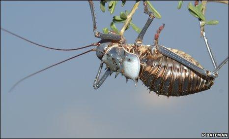 Armoured groyund cricket (Acanthoplus discoidalis)