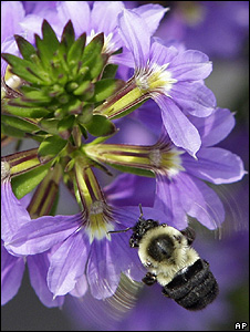 Bee on a flower (Image: AP)