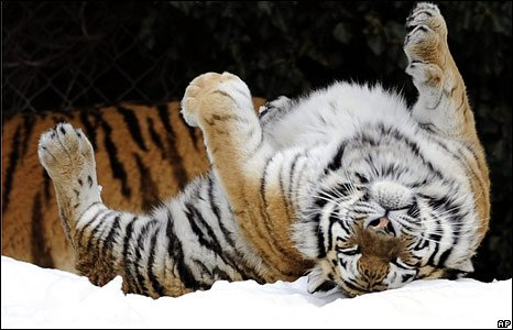 Siberian tiger