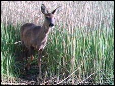 Deer in long grass. Photo: WildPlaces - North East Wildlife Trusts