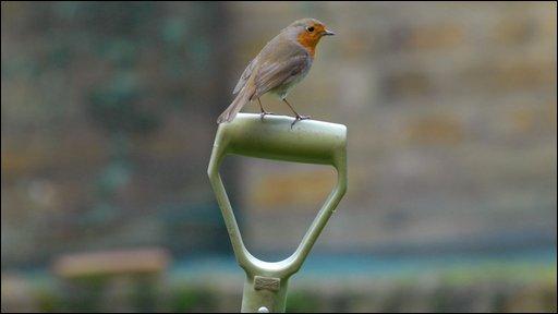 Robin on top of garden spade