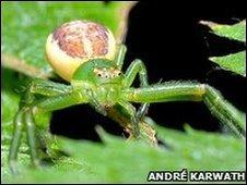 Crab spider (Diaea dorsata )