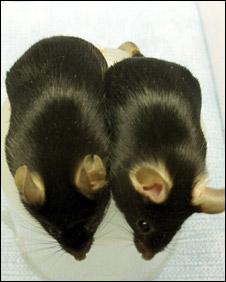 Myshkin mice